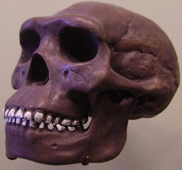 Replica of Homo Javanensis in Bad Cannstatt, part of Stuttgart, Germany. (Public Domain)