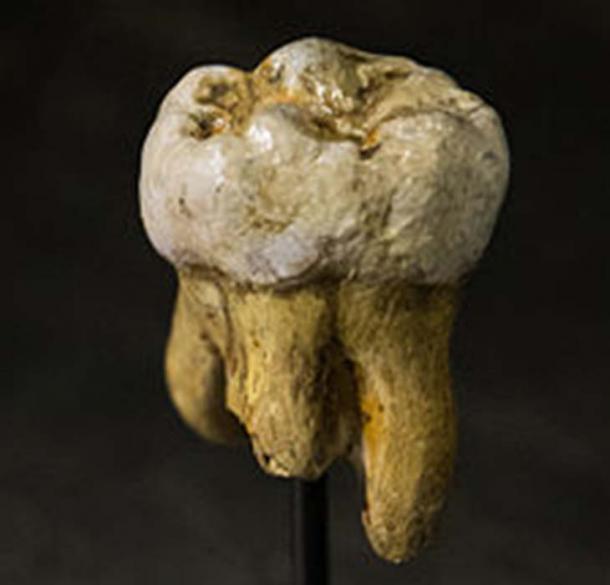 Replica of a Denisovan molar, originally found in Denisova Cave. (Thilo Parg / CC BY-SA 3.0)