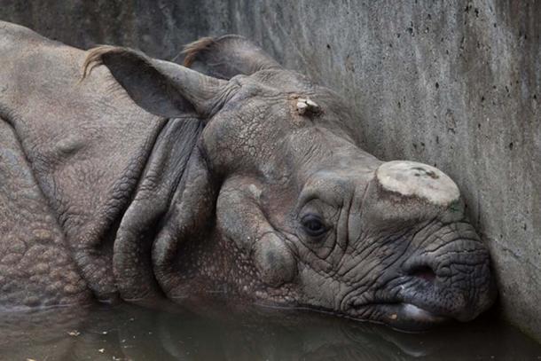 Rhino who horns have been removed. (Vladimir Wrangel / Adobe)