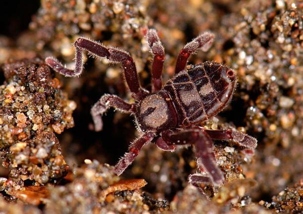 The Ricinulei Spider (Cryptocellus goodnighti).