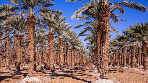 Rows of palm trees on a tree farm near Dead Sea, Israel. (Dmitry / Adobe Stock)