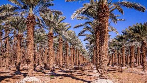 Rows of palm trees on a tree farm near Dead Sea, Israel. (Dmitry / Adobe Stock)