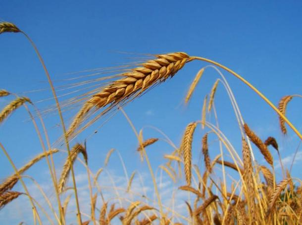 Rye, one of the first crops