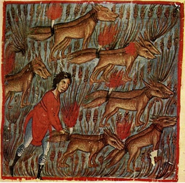 """Samson and the Foxes, miniature (Judges 15:1-8: """"Samson went and caught three hundred foxes, and took torches, and turned the foxes tail to tail, and put one torch in the middle between two tails. When he had set fire to the torches, he released the foxes into the standing grain of the Philistines.""""), Oktateuch, Vatopedi monastery, 13th century"""