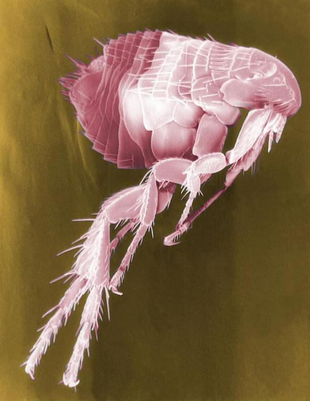 Scanning electron micrograph of a flea, which carry disease, including the plague, that infect people when they bite them.