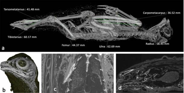 Scans of the mummified bird, most likely a wild kestrel. (Nature)