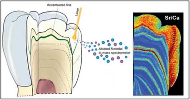 Schematic diagram of the use of laser ablation analysis to map the concentration of strontium and uranium within a tooth. (Renaud Joannes-Boyau, Fair Use)