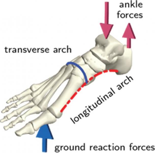 Schematic of a human foot skeleton showing the arches and typical loading pattern