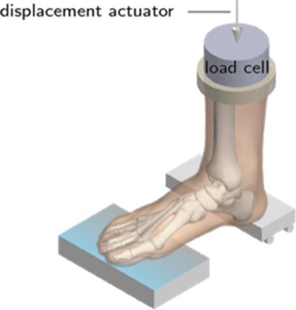 Schematic showing bending test on a cadaveric human foot. (M. Venkadesan / Nature)