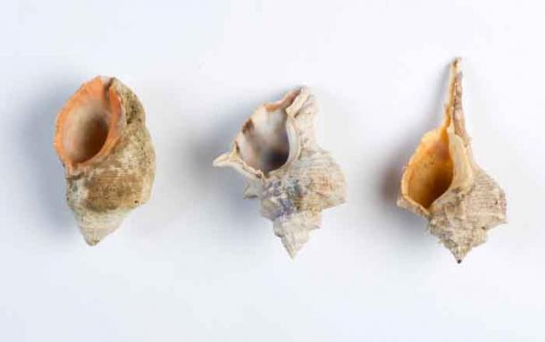 Shells of the three species of murex snails. Left to Right: S. haemastoma, H. trunculus and B. brandaris (Photo by Shahar Cohen / PLOS ONE).