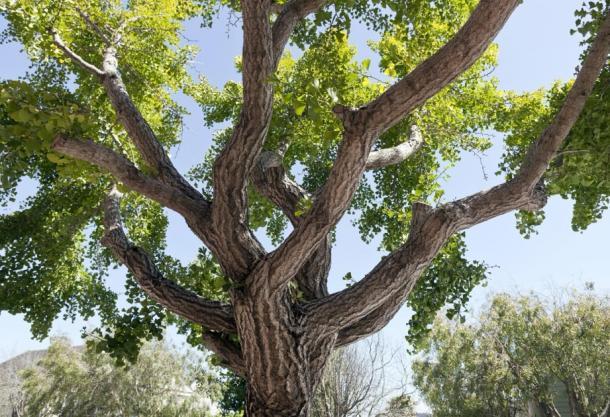Shot of a ginkgo tree. (Noel / Adobe stock)