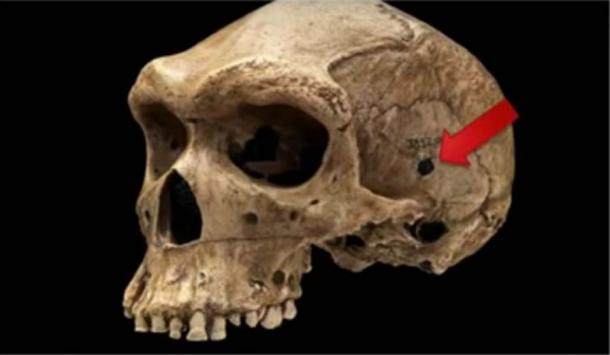 Side-view of prehistoric human skull discovered in 1921 in Broken Hill Cave, Northern Rhodesia