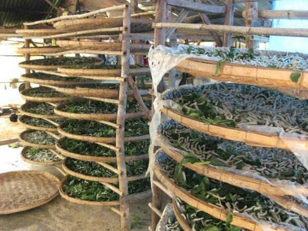 Silkworm breeding