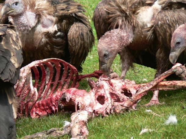 Skeletal remains as vultures feed.