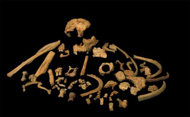Skeletal remains of Homo antecessor. Credit: Prof. José María Bermúdez de Castro