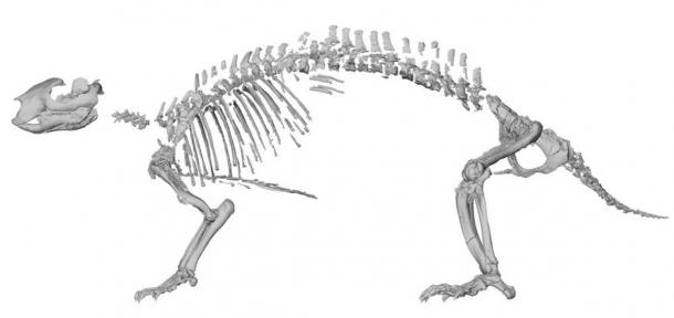 Skeletal reconstruction of Adalatherium hui ('crazy beast'). Lateral view based on computed tomography scans of individual elements. (Simone Hoffmann / Nature)