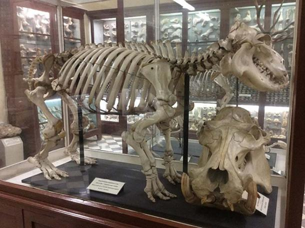 Skeleton and skull at the Għar Dalam Museum. (Continentaleurope/CC BY SA 4.0)