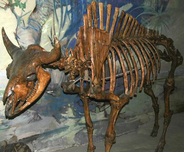 Skeleton of an ancient bison of the type found in North America during the Ice Age