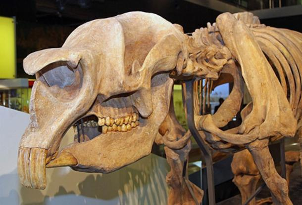 """Skull of Diprotodon optatum, extinct Australian marsupial megafauna, at the Melbourne Museum. The specimen clearly shows the large front teeth for which the genus is named (Diprotodon = """"two forward teeth"""") and the dentition adapted for browsing. Melbourne, Victoria, Australia. (John O'Neill)"""
