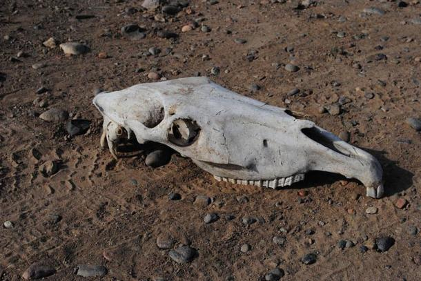 The Skull of a horse.