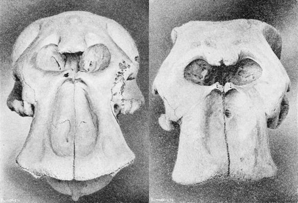 Skulls of African bush elephant(left) and African forest elephant(right) (Public Domain)