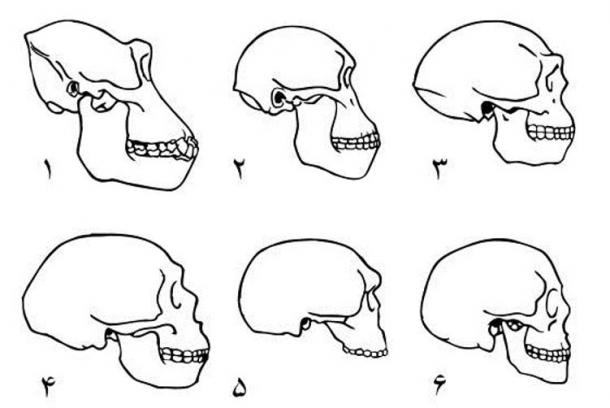 Skulls of 1. Gorilla 2. Australopithecine 3. Homo erectus 4. Neanderthal (La-Chapelle-au-Seine) 5. Steinheim Skull 6. Modern human