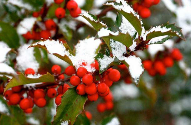 Snowy holly.
