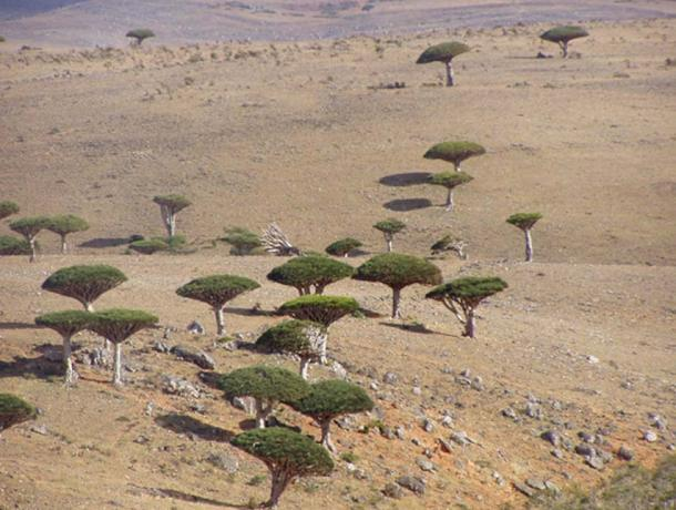 Socotra Dragon Trees (Dracaena cinnabari),