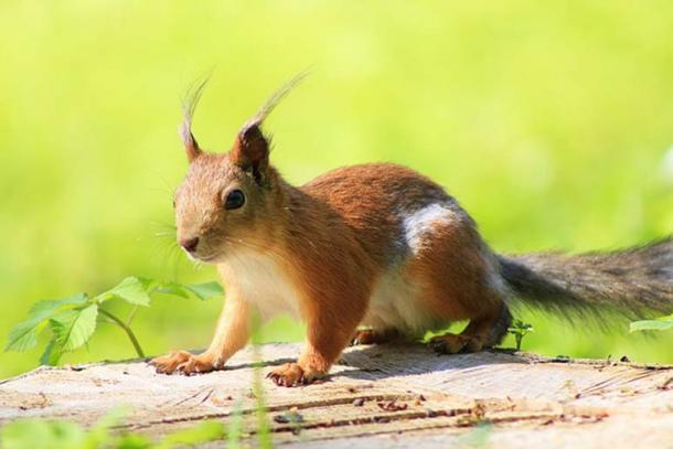 Squirrels are often messengers in folklore