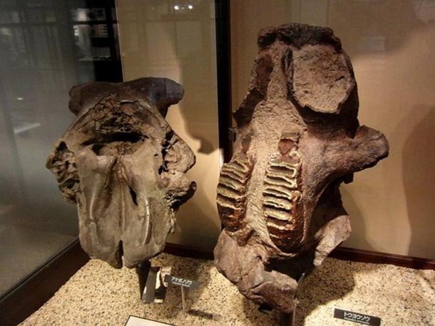 Fossils of Stegodon aurorae (left) and Stegodon orientalis (right).
