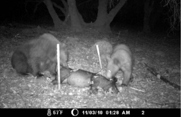 Still from the video Lisa took during her experiment of bears scavenging a pig carcass.