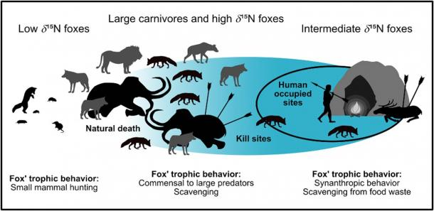 Summary figure for the commensal fox hypothesis. The blue area marks the impact of humans on dietary resources. For low δ15N foxes, humans had no influence, while for intermediate δ15N foxes they had a very strong influence (restricted diet). High δ15N foxes may be influenced (e.g. by scavenging at kill sites) or may be of natural origin (e.g. by scavenging from megafauna that died naturally). (Baumann et al, 2020, PLOS ONE/ CC BY 4.0)