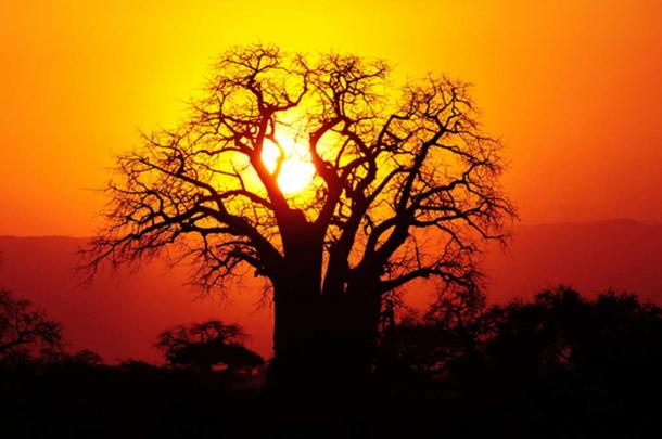 Sunset over a giant baobab, it appears as if the roots are in the air.