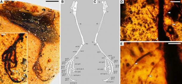 Tarsal Structure and Integumentary Structures Preserved in Elektorornis chenguangi HPG-15-2. (Lida Xing/ Current Biology)