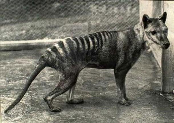 If scientist decide to bring back a recently extinct species, they might select the Tasmanian Tiger