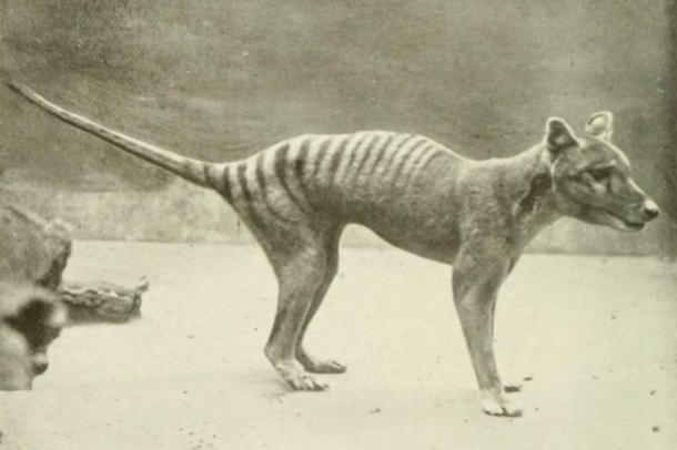 Scientists have almost completed the mapping of the Tasmanian Tiger genome, another extinct species that may soon be revived