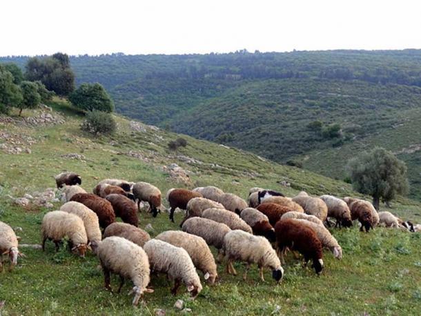 Sheep grazing in Tel Yodfat, Israel.