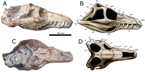 Teyujagua paradoxa holotype.