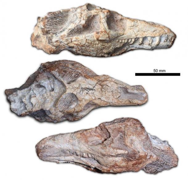 Fossilized skull of the Teyujagua.