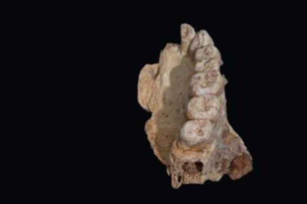 The 177,000 to 194,000-year-old maxilla (upper jaw) of Misliya-1 hominin (Rolf Quam)