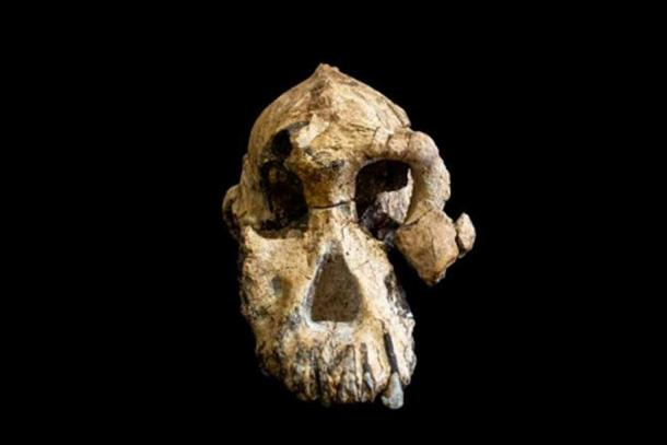 The 3.8 million-year-old cranium of Australopithecus anamensis is remarkably complete. © Dale Omori, Cleveland Museum of Natural History