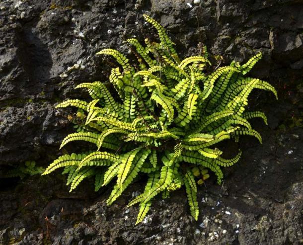 The Asplenium trichomanes fern (Pecold / Fotolia)