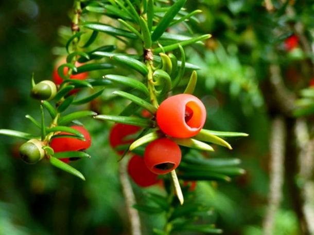 The Fortingall Yew spouted berries in 2015. (grassrootsgroundswell / CC BY-SA 2.0)