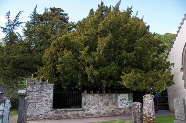 The Fortingall Yew in June 2011, comparing you can clearly see its downfall. (Paul Hermans / CC BY-SA 3.0)