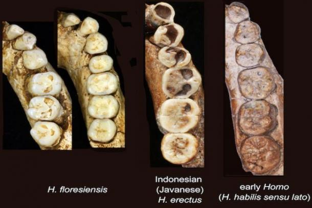 The Hobbit teeth showed blended traits of primitive and modern human, and were found to be most similar to Java Man.