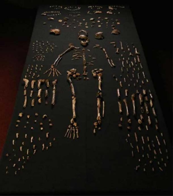The Homo naledi fossilized bones recovered from the Rising Star cave in South Africa.