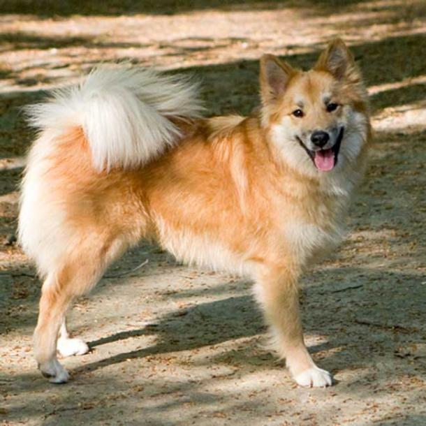 The Icelandic Sheepdog has probably not changed much since the Viking Age.