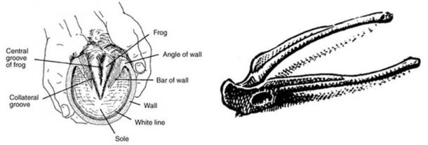 Left: The frog's pelvic girdle resembles part of a horse's hoof. Right: The Ilium bone in a frog's pelvic girdle.