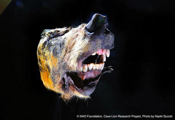 The Pleistocene wolf was still snarling after 40,000 years. (Naoki Suzuki / Fair Use)