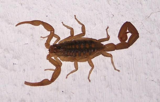 The Scorpion. In ancient legend it served as killer and guardian.